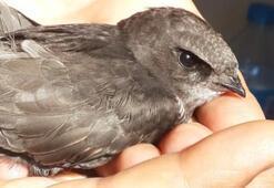 Dünyanın en nadir bulunan kuşu Karabükte ortaya çıktı