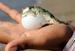 Bodrum'da balon balığı tedirginliği