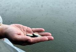 Göle yavru balıklar bırakıldı; avlayanlara balık başına bin 300 lira ceza