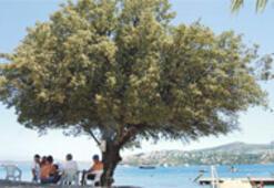 Dinozor ağacı