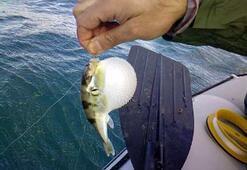 Gazipaşalı balıkçıların balon balığı kabusu