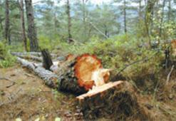 Çevreci ayaklandı ağaçlar kurtuldu