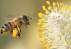 'Cep'ler bal arılarını yok ediyor