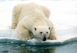 Kutup ayıları 70 yıl içinde yok olabilir