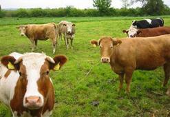 Hayvancılık destekleme miktarları açıklandı