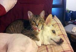 Köpekleri yastık niyetine kullanan kediler