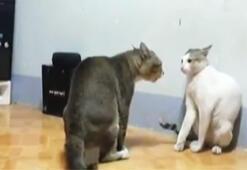 Boksör kediler sosyal medyayı sarstı