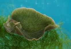 Fotosentez yapabilen hayvan türü keşfedildi