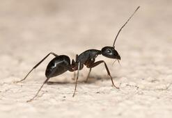 Karıncalardan kurtaracak pratik yöntem