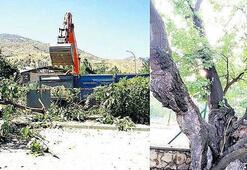 170 yıllık anıt ağacı hükümet konağı için kesildi