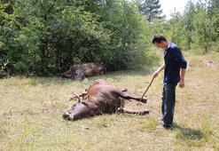 Köye kadar inen ayılar 3 ineği telef etti