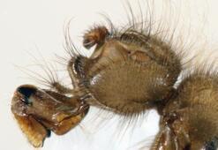 Bilim adamları 62 yıldır bu sineği arıyordu