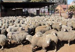 Bakan müjdeyi verdi 300 koyun projesi Şırnakta başlıyor...