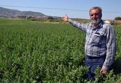 Zahmeti az getirisi yüksek Çiftçinin yeni gözdesi: Kinoa