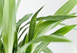 Yuka bitkisi nasıl çoğaltılır