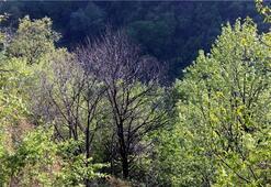 Uludağ'da 'katil arı' tehdidi
