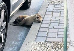 Deniz aslanı yolunu şaşırdı