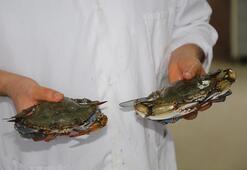 Akdeniz ve Egeye özgü balık ve yengeç türleri Karadenizi mesken tuttu