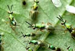 Gal arısına karşı terminatör böcek