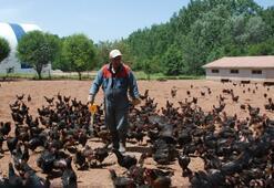 Kene korkusu tavuk çiftliği sahibi yaptı