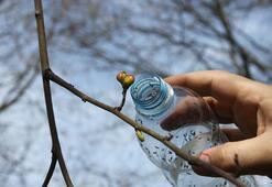 Kestane ağaçlarını yok eden katil arılar yine ortaya çıktı