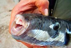 Bodrumda zehirli balon balığı tedirginliği