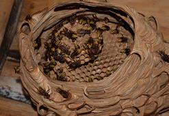 Katil arılarından Türkiyede bir ilk