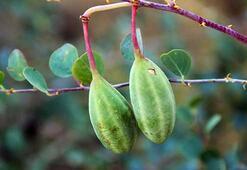 Doğadaki sağlık deposu bitki kapari