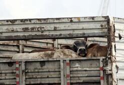 Dev gemiyle Brezilya'dan getirilen 11 bin hayvan için 631 sefer