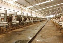 Türk mühendis iki ortağın sığır çiftliği Avrupa'yı hayrete düşürdü