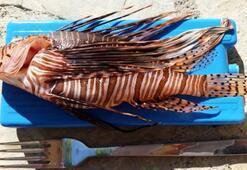 Muğla kıyılarının tehlikeli misafiri Aslan Balığı