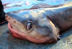 Mersin açıklarında bir haftada üçüncü köpek balığı yakalandı