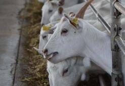 Cüppeyi çıkardı keçi sütü sağdı