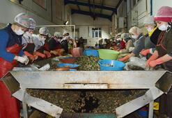 Sinoptan Uzakdoğuya 550 ton deniz salyangozu ihraç edildi