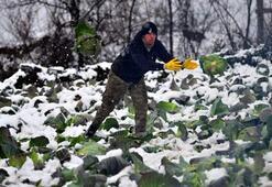 Karda lahana hasadı