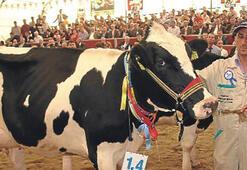 Damızlık inekler yarıştı