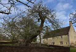 Newtonun elma ağacı tarihe meydan okuyor