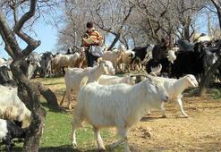 Tuncelide çobanlar 6 bin lira maaşı az buluyor