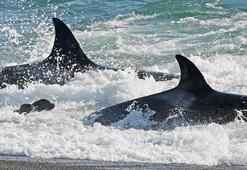 Katil balinalar kıyıda görüntülendi