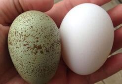 Mavi yeşil yumurtanın faydaları nelerdir