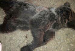 Yavru ayıyı silahla vurarak öldürdüler
