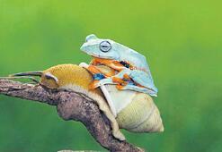 Tembel kurbağa