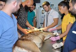 Gözleri görmeyen geyik yavrusuna, katarakt ameliyatı