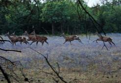 Şoke eden olay Aç kalan köpekler Üniversitedeki geyikleri yedi...