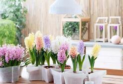 Evlerde yetiştirilebilen çiçekler