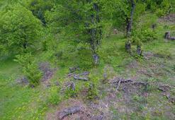 Uludağ'da kestane ağaçlarını kurutan katil arılara çare bulunamıyor