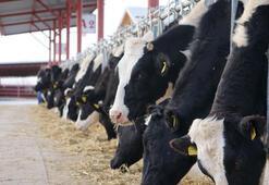 Pedikürü yapılan inek daha çok süt veriyor