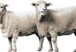 Koyun eti fiyatı % 15 arttı