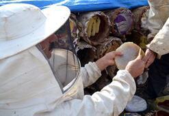 Herekol Dağı eteklerinde, silah sesleri eşliğinde bal hasadı