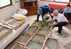 İpek böceği yetiştiricilerini hasat heyecanı sardı